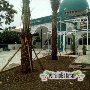 Harga Pohon Kurma Ajwa